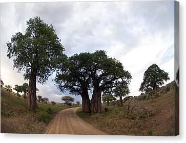 Baobab Trees Adansonia Digitata Canvas Print