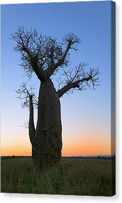Baobab Trees (adansonia Canvas Print