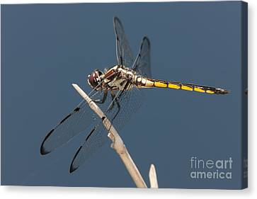 Bar-winged Skimmer Dragonfly I Canvas Print by Clarence Holmes