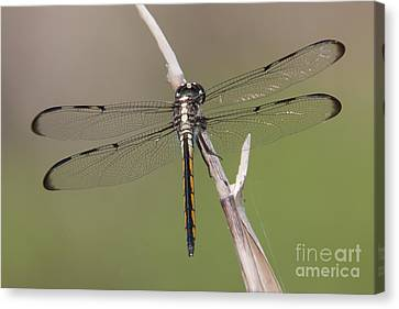 Bar-winged Skimmer Dragonfly II Canvas Print by Clarence Holmes