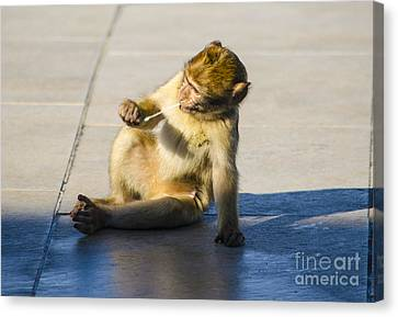 Barbary Ape And Chewing Gum Canvas Print