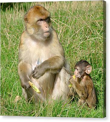 Barbary Macaque And Baby Canvas Print