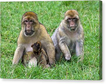 Barbary Macaques And Baby Canvas Print