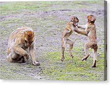 Barbary Macaques Canvas Print
