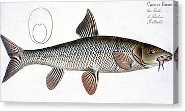 Barbel Canvas Print by Andreas Ludwig Kruger