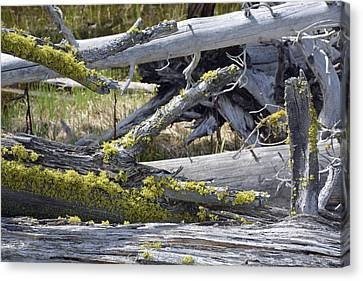 Bare Logs And Lichen In Yellowstone Canvas Print by Bruce Gourley