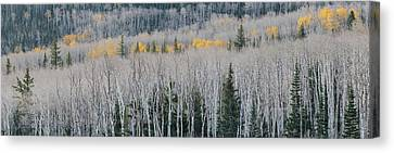 Bare Quaking Aspens And A Few Engelmann Canvas Print by Panoramic Images