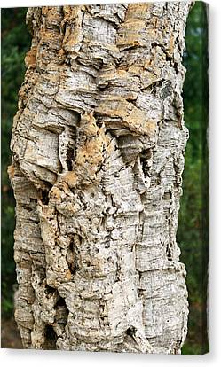 Bark Of Cork Oak (quercus Suber) Canvas Print by Dr Morley Read