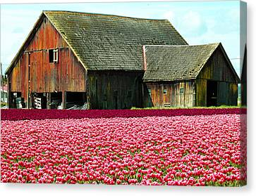 Barn And Tulips Canvas Print by Annie Pflueger