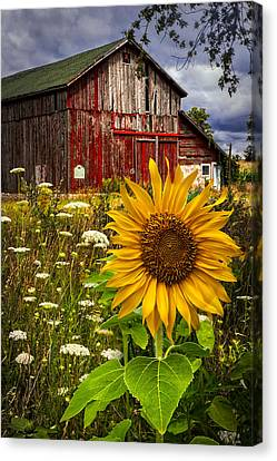 Barn Meadow Flowers Canvas Print by Debra and Dave Vanderlaan