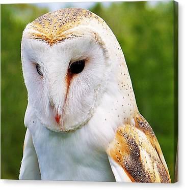 Barn Owl... Canvas Print