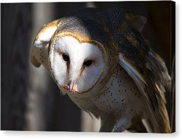 Barn Owl Eating 2 Canvas Print by Chris Flees