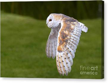 Barn Owl In Flight Canvas Print by Nick  Biemans