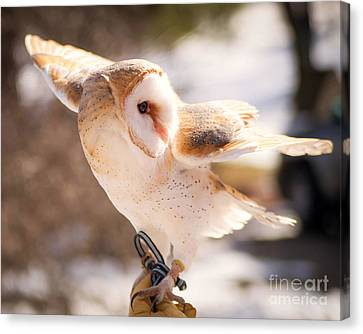 Barn Owl In The Breeze Canvas Print by Lori England Zornes