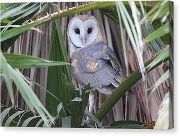 Barn Owl Canvas Print by Joe Sweeney