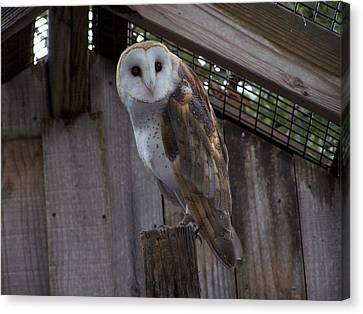 Canvas Print featuring the photograph Barn Owl by Michele Kaiser