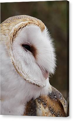 Barn Owl Profile Canvas Print by Theo