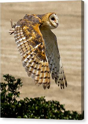 Barn Owl Canvas Print by Robert L Jackson