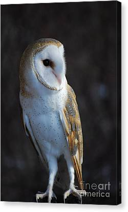 Barn Owl Canvas Print by Sharon Elliott