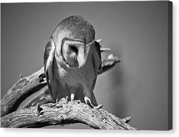 Barn Owl Thoughts  Canvas Print by Swift Family