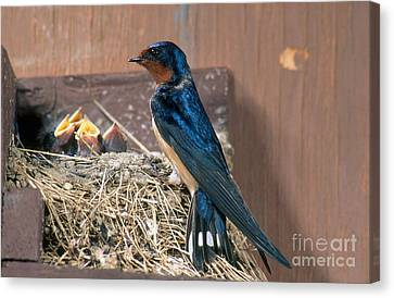 Barn Swallow At Nest Canvas Print by Anthony Mercieca
