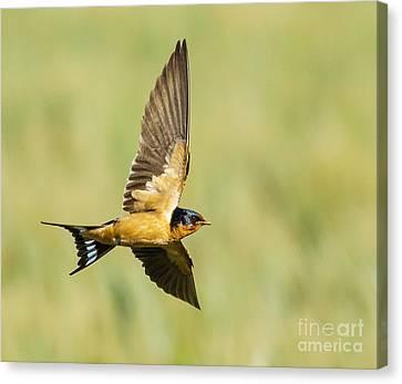 Hirundo Canvas Print - Barn Swallow by Carl Jackson
