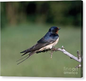 Barn Swallow Canvas Print by Hans Reinhard