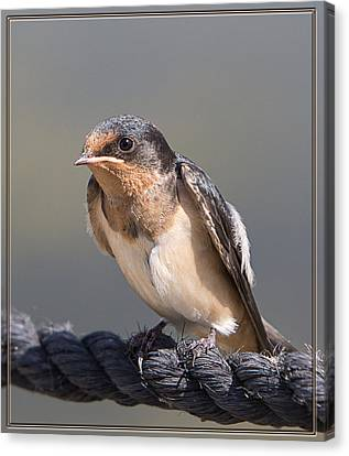 Canvas Print featuring the photograph Barn Swallow On Rope I by Patti Deters