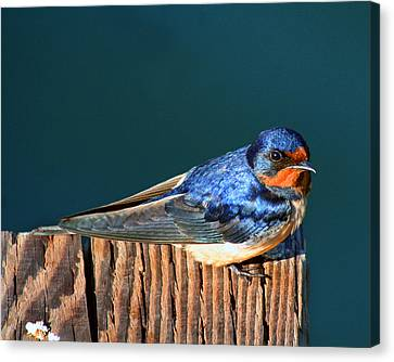 Canvas Print featuring the photograph Barn Swallow Perching by Bob and Jan Shriner