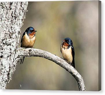 Barn Swallows Canvas Print