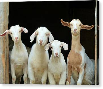 Canvas Print featuring the photograph Barnyard Buddies by Elaine Franklin