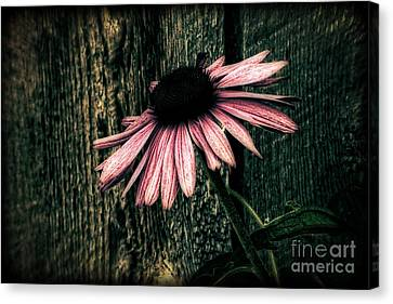 Canvas Print featuring the photograph Barnyard Coneflower by Marjorie Imbeau