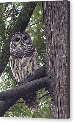 Barred Owl 2a Canvas Print by Sharon Talson