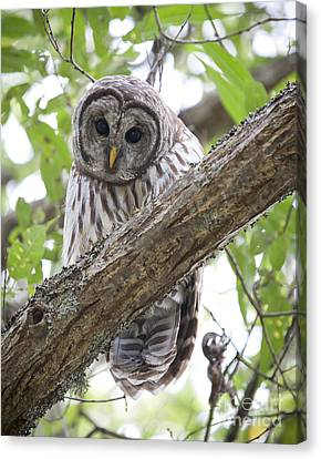 Barred Owl Canvas Print by Chris Dutton