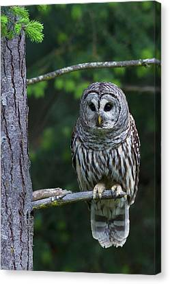 Barred Owl, Hunting At Dusk Canvas Print by Ken Archer