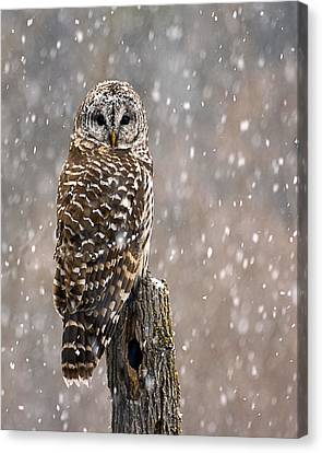 Barred Owl In A New England Snow Storm Canvas Print
