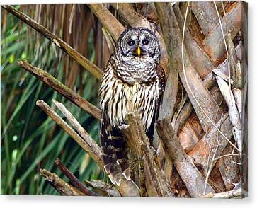Barred Owl In Palm Tree Canvas Print by Jodi Terracina