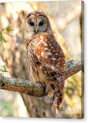Canvas Print featuring the photograph Barred Owl by Kathy Baccari