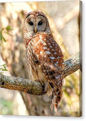 Barred Owl Canvas Print by Kathy Baccari