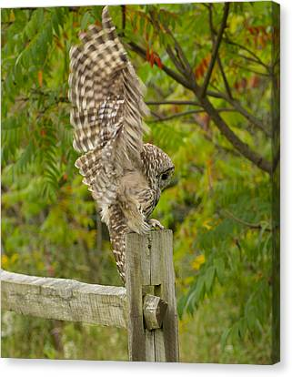 Barred Owl Landing Canvas Print