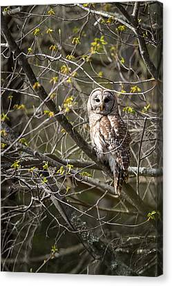 Barred Owl Portrait Canvas Print by Bill Wakeley