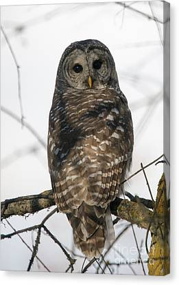 Barred Owl Stare Canvas Print by Mike Dawson