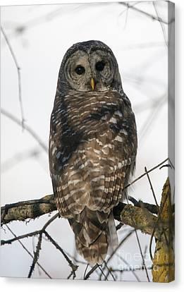 Barred Owl Stare Canvas Print