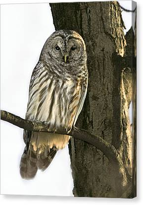 Barred Owl  Canvas Print by Timothy McIntyre