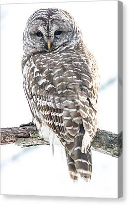 Barred Owl2 Canvas Print by Cheryl Baxter