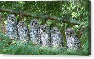 Barred Owlets Nursery Canvas Print by Jennie Marie Schell