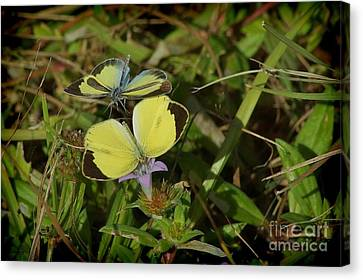 Barred Yellow Butterflies Canvas Print by Lynda Dawson-Youngclaus