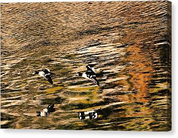Barrow's Goldeneyes Over The Ocean Canvas Print