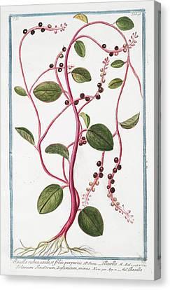 Cesare Canvas Print - Basella Rubra by Rare Book Division/new York Public Library