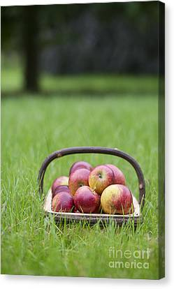 Apple Canvas Print - Basket Of Apples by Tim Gainey